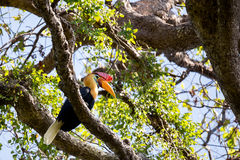 Beutifull Knobbed hornbill Stock Photography