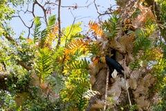 Beutifull Knobbed hornbill Stock Photos