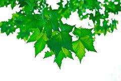Beutifull zieleni liść Zdjęcia Royalty Free