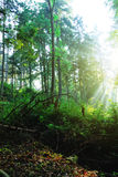 Beuty forest with sunrays Stock Photography