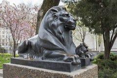 Bevaka för lejon Arkivbild