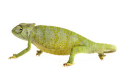Bevallig Kameleon stock fotografie