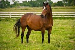 Bevallig paard Royalty-vrije Stock Afbeeldingen