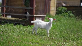 Bevallig Weinig geit die in een weide met klaver weiden, en zich binnen bevinden kijken aan stock video