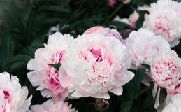 Bevallige gevoelige roze bloeiende pioenen in de tuinclose-up stock fotografie