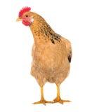 Bevallige kippen legkip, rode kleur Geïsoleerde Reeksfoto's Stock Afbeeldingen
