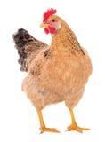 Bevallige kippen legkip, rode kleur Geïsoleerde Reeksfoto's Stock Fotografie