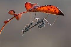 Bevallige pennata van insectempusa op een pamflet die op prooi in de weide wachten stock afbeeldingen