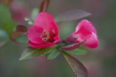 Bevallige rode bloemen op de struiken van bloeiende kweepeer royalty-vrije stock afbeelding