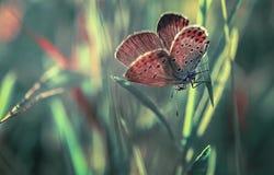 bevallige Vlinder royalty-vrije stock afbeelding