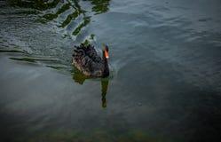 Bevallige zwarte Zwaan die op een stil meer drijven stock afbeeldingen