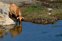Bevande della capra al fiume Fotografie Stock Libere da Diritti