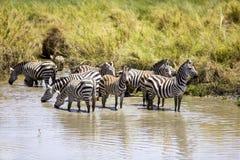 Bevande delle zebre di un foro di acqua Fotografie Stock