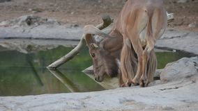 Bevande di una pecora di Barbary da un lervia del Ammotragus del foro di acqua video d archivio