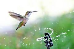 Bevande Rufous del colibrì dallo spruzzatore Immagine Stock