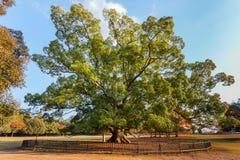 Bevarat träd på Nara Park i Nara Royaltyfri Fotografi