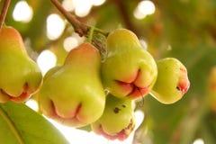 Bevattna Apple royaltyfri fotografi