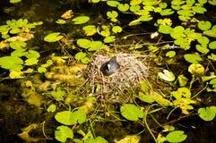 Bevattna att bygga bo för fågel Royaltyfri Foto