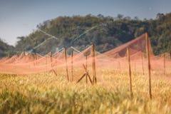 Bevattna av det guld- kornfältet Royaltyfri Fotografi