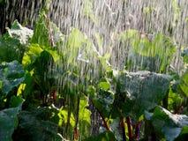 Bevattna beta i trädgården Royaltyfria Foton