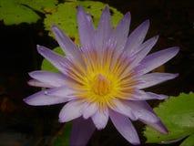 Bevattna blomman av lilor och guld ovanför blocken med ett mycket litet kryp på ett kronblad royaltyfria bilder