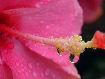 Bevattna droppe, blomman som är ny, rosa färg Royaltyfria Foton