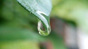 Bevattna droppe från tjänstledigheterna efter regnet Arkivfoton
