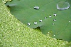 Bevattna droppe på lotusblommabladet med andmatbakgrund Royaltyfri Bild