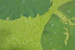 Bevattna droppe på lotusblommabladet med andmatbakgrund Arkivfoton