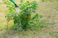 Bevattna en buske Cumberland för svart hallon Royaltyfria Bilder