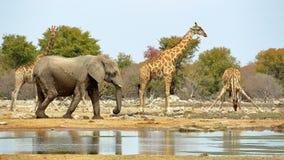 Bevattna för elefanter och för giraff arkivbild