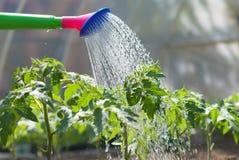 bevattna för plantatomat Arkivbilder