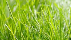 bevattna f?r gr?s Droppar av vattennedgången på nytt grönt gräs stock video