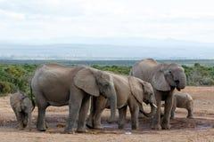Bevattna hålnoja vid den afrikanska Bush elefanten Familie Royaltyfria Foton