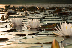 Bevattna Lillies Arkivbild