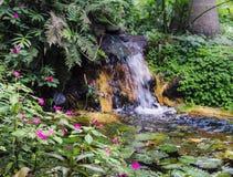 Bevattna lillies, Nymphaeaceae, i tropisk brasiliansk regnskog arkivfoton