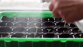 Bevattna många unga växter i plast- krukor Närbildbilden på små tomatväxter besprutade med vatten Vattenmist