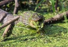 Bevattna ormen som äter en groda Royaltyfria Foton