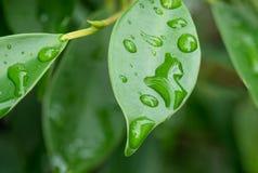 Bevattna på leafen Royaltyfri Foto