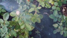 Bevattna rosor i trädgården arkivfilmer