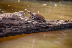 Bevattna sköldpaddaPodocnemys unifillis i sjön Sandoval, Peru Amazon Arkivbilder