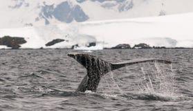 Bevattna spill från svanslyckträffar av det vuxna puckelryggvalet för dykning, antarktisk halvö arkivfoton