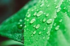 Bevattna tappar på leafen fotografering för bildbyråer