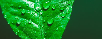 Bevattna tappar på leafen royaltyfria foton
