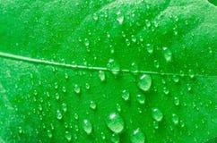Bevattna tappar på leafen arkivbilder
