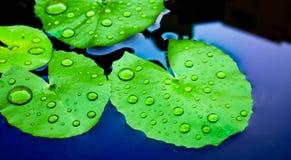 Bevattna tappar på lotusblommaleafen Arkivbild