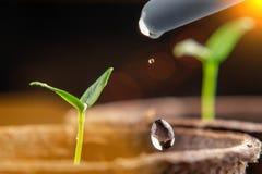 Bevattna unga plantor av peppar i torvkrukor V?xtomsorgbegrepp royaltyfri fotografi