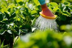 bevattna växten i trädgård med solljus Royaltyfri Foto