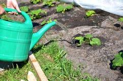 Bevattna växter med vattenkrukan Royaltyfria Bilder