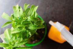 Bevattnad steviaväxt med pulverizeren på bakgrunden - bild royaltyfria bilder